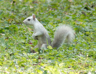 Leucistic Gray Squirrel