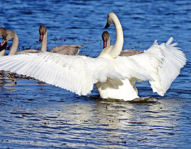 Trumpeter Swans adult and juveniles