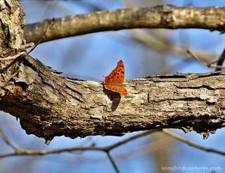 Question Mark butterfly 5.jpg