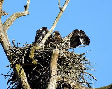 Bald Eagle juvenile