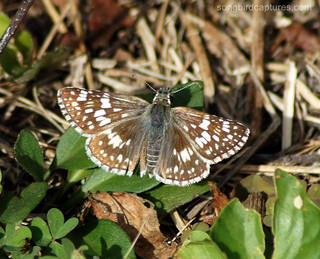 Checkered Skipper butterfly.jpg