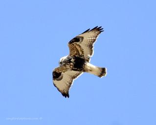 Rough-legged Hawk (rare for AR) female
