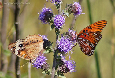 Common Buckeye Butterfly and Gulf Fritillary Butterfly