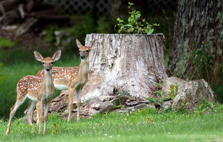 White tailed Deer Fawns