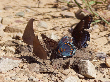 Goatweed Leafwing Butterflies Hackberry Emperor Butterfly and Red spotted Purple Butterflies