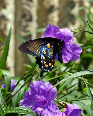 Pipevine Swallowtail butterfly 1.jpg