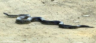 Plain bellied Water Snake