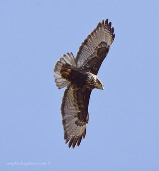 Harlan's Hawk (juvenile)