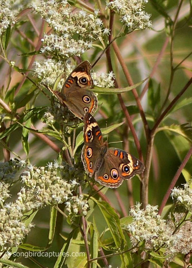 Common Buckeye Butterflies