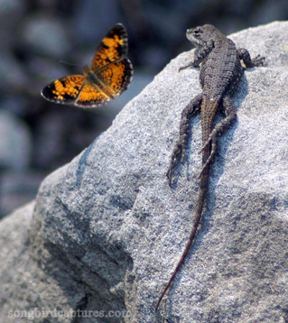 Pearl Crescent Butterfly and Prairie Lizard