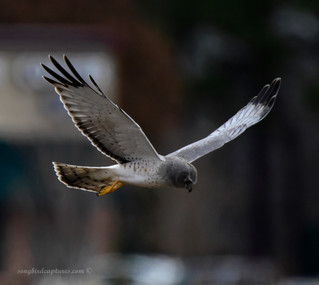 Male Northern Harrier/Gray Ghost