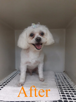 White Dog After