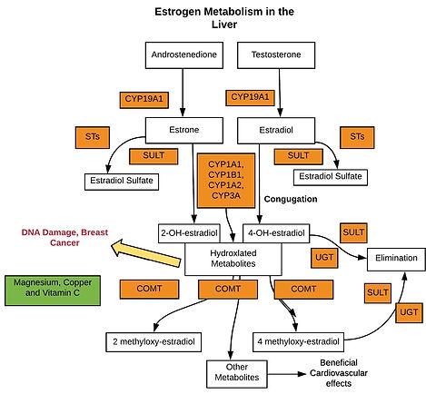 Estrogen-Elimination-in-the-Liver-2_edit