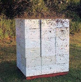 picture of our premium sourwood honey