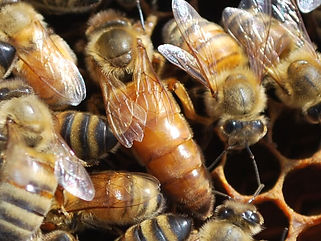 Picture of a queen bee