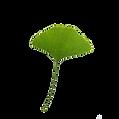 kisspng-leaf-ginkgo-biloba-download-clip