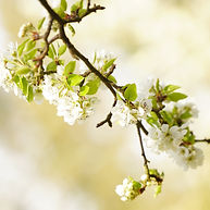 cherry-blossoms-5029257.jpg