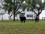 Farmhouse with Cattle