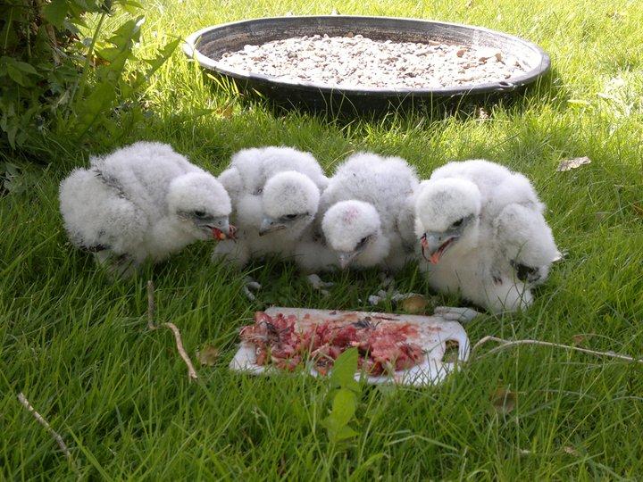 lannerfalke unger 4 uger