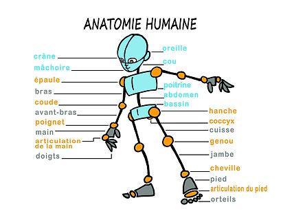 anatomie humaine, pédagogie.jpg