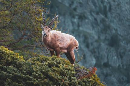 Standing Ibex, Salanfe, Switzerland