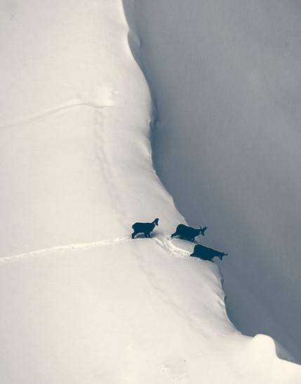 Three Chamois, Switzerland