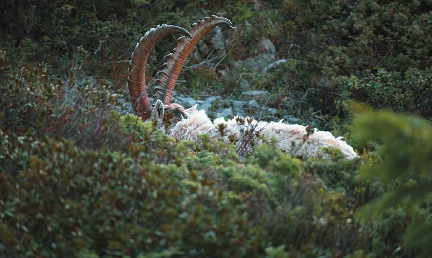 Lying Ibex, Switzerland