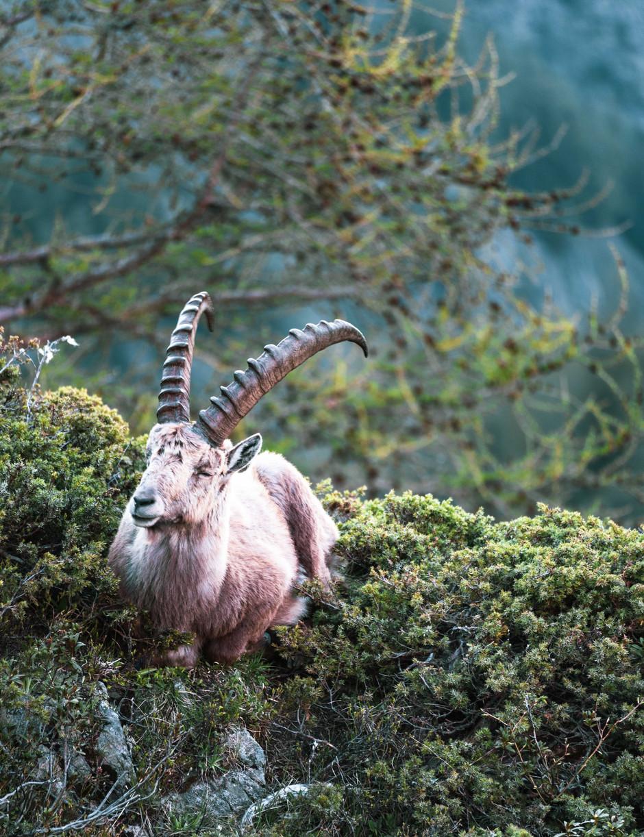 Sitting Ibex