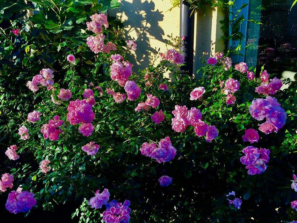 Le jardin à Cully, Bourg-en-Lavaux, Vaud, Suisse