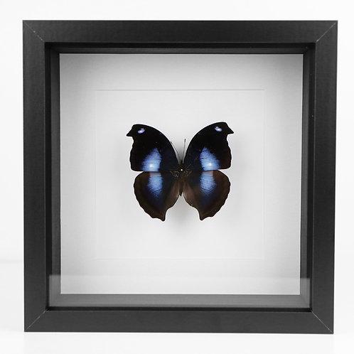 Antiquus Corvus - Napeales Jucunda