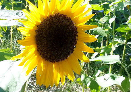 sunflower single, circa end of summer 20