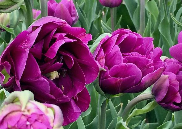 Purple Tulips.jpg