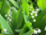 Lilies of the Valley Resized.jpg
