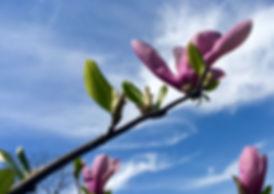 Magnolia in sky.jpg