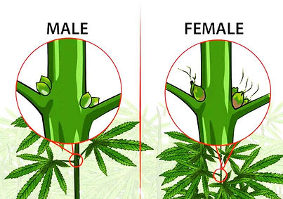 Male-or-female-weed-plant.jpg
