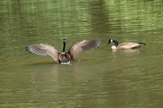 Les Scarborogh photo_8797_2 geese