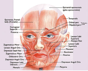 Roberts-Figure-04-The-muscles-of-facial-