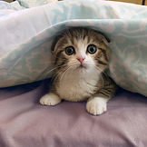Scottish fold kitten for sale.jpg