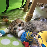 scottish fold cute as a bug Timbit_edite