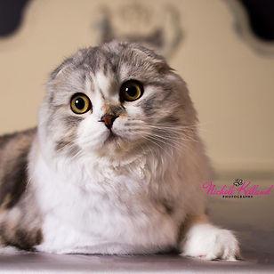 show cat scottish fold kitten breeder silver grey gray
