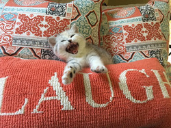 scottish straight kitten mica laugh