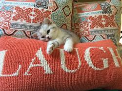 scottish straight kitten Mica tired