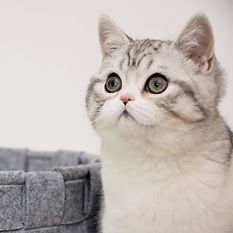 scottish.felipe instagram breeder, scottish straight, scottish shorthair