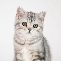 Scottish Straight Kitten 2.jpg