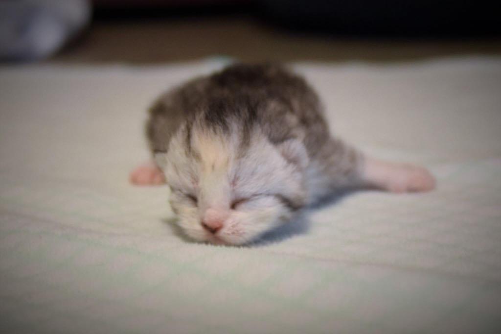 scottish straight newborn Mica