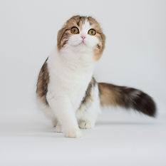 Russia Scottish Fold for sale