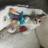 scottish straight kitten lola toys_edite