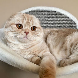 Scottish Fold O Henry Marifolds.JPG
