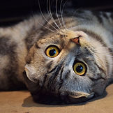 scottish fold silver tabby breeder.jpg