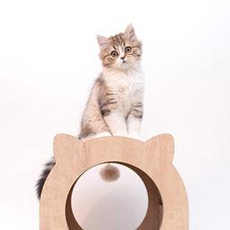 Scottish straight long hair breeder kitten for sale